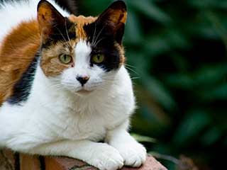 A calico cat, with orange, black, and white markings, sitting on a brick wall with a garden in the background.